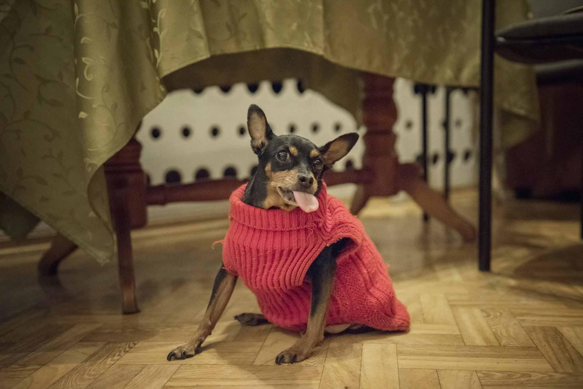 Pies, też senior, bierze udział w próbie.